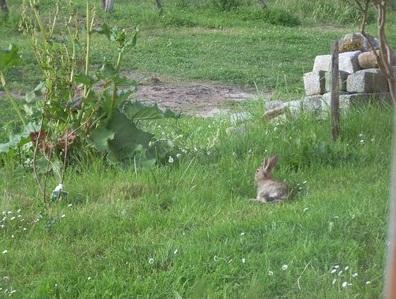 les lapins de garenne